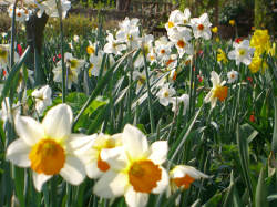 Daffodils in the garden at Anne Hathaway's Cottage, Stratford upon Avon