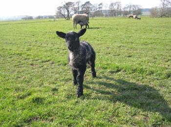 lamb-tunstall-lancashire.jpg