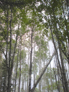 birch forest, northern ontario